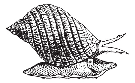gastropod: Common Periwinkle or Winkle or Littorina littorea, vintage engraved illustration. Dictionary of words and things - Larive and Fleury - 1895.