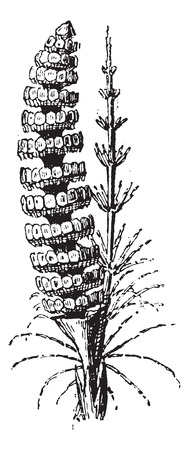 equisetum: Old engraved illustration of Common Horsetail or Equisetum arvense or Field Horsetail isolated on a white background. Dictionary of words and things - Larive and Fleury ? 1895