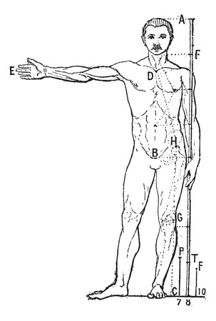 Human proportions, vintage engraved illustration. Dictionary of words and things - Larive and Fleury - 1895.