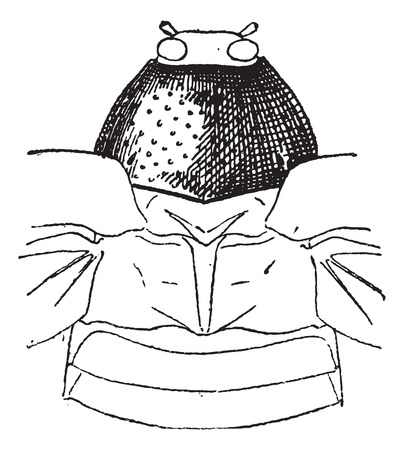 pronotum: Prothorax, vintage engraved illustration. Dictionary of words and things - Larive and Fleury - 1895.