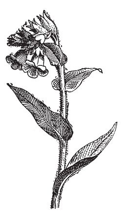 herbaceous: Pulmonaria spotted or lungwort, vintage engraved illustration. Dictionary of words and things - Larive and Fleury - 1895.