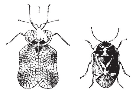green vegetable: Left - Hemiptera Heteroptera, tiger bug or lace bug or true bugs , Right - Nezara viridula or southern green stink bug or green vegetable bug , vintage engraving. Dictionary of words and things - Larive and Fleury - 1895.