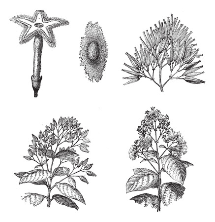officinalis: Old engraved illustration of three different species of Cinchona plant, 1,2) Flower and seed of Cinchona Calisaya, 3) Fruits of Cinchona Succirubra, 4,5) Flowering branches and Fruiting shoots of Cinchona officinalis are isolated on a white background. Di