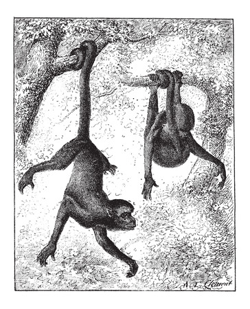 chordata: Spider Monkey or Ateles sp., vintage engraved illustration. Dictionary of Words and Things - Larive and Fleury - 1895