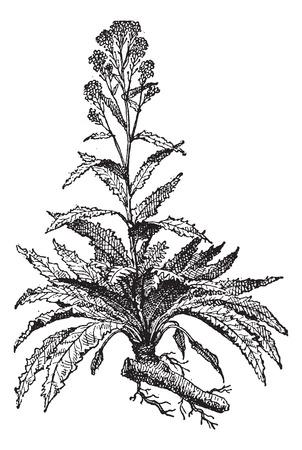 Alt graviert Illustration der Meerrettich oder Armoracia rusticana oder Cochlearia armoracia auf einem weißen Hintergrund. Wörterbuch der Wörter und Dinge - Larive und Fleury? 1895