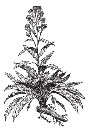 perennial: Old engraved illustration of Horseradish or Armoracia rusticana or  Cochlearia armoracia isolated on a white background. Dictionary of words and things - Larive and Fleury ? 1895