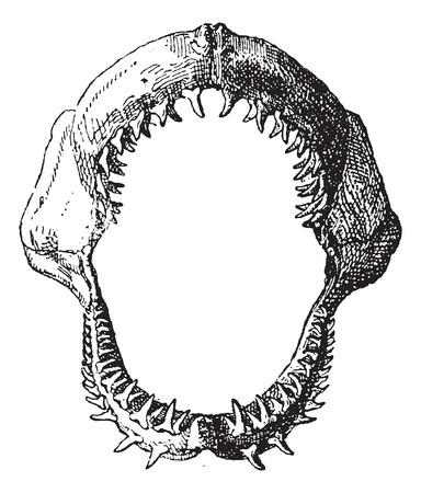 shark teeth: Mand�bula de tibur�n, cosecha ilustraci�n grabada. Diccionario de palabras y las cosas - Larive y Fleury - 1895. Vectores