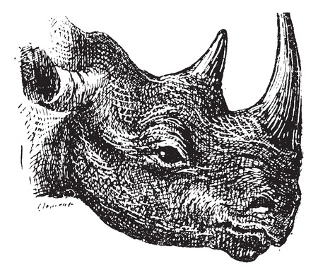 Black Rhinoceros or hook-lipped rhinoceros (Diceros bicornis), vintage engraved illustration. Dictionary of words and things - Larive and Fleury - 1895.