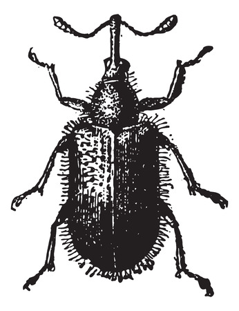 Rhynchites Beetle isolated on white, vintage engraved illustration. Dictionary of words and things - Larive and Fleury - 1895.