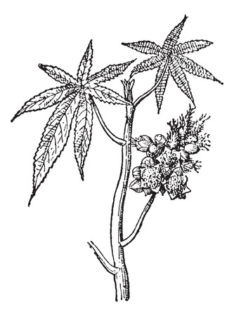 Castor common or Castor oil plant or Ricinus communis, vintage engraved illustration. Dictionary of words and things - Larive and Fleury - 1895.