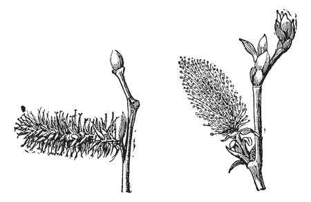 stamens: Old engraved illustration of Willow or sallow or osier with flower pistil and flower stamens isolated on a white background. Dictionary of words and things - Larive and Fleury ? 1895