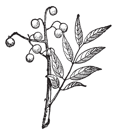 varnish: Old engraved illustration of Goldenrain tree or Koelreuteria paniculata or pride-of-India or China tree or varnish tree or Koelreuteria apiculata isolated on a white background. Dictionary of words and things - Larive and Fleury ? 1895 Illustration