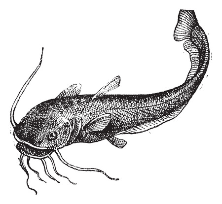 Catfish isolated on white, vintage engraved illustration. Dictionary of words and things - Larive and Fleury - 1895.