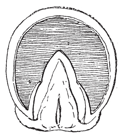 hooves: Old engraved illustration of Horses hoof  (Front Upright) isolated on a white background. Dictionary of words and things - Larive and Fleury ? 1895