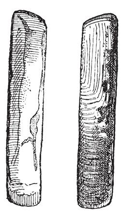 Oude gegraveerde afbeelding van twee Solenidae op een witte achtergrond geïsoleerd. Woordenboek van woorden en dingen - Larive en Fleury? 1895