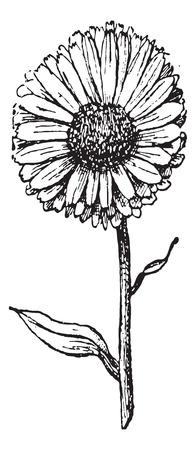 cempasuchil: Flor de la maravilla aislado sobre fondo blanco, ilustraci�n de la vendimia grabado. Diccionario de palabras y las cosas - Larive y Fleury - 1895. Vectores
