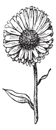marigold: Marigold flower isolated on white background, vintage engraved illustration. Dictionary of words and things - Larive and Fleury - 1895.