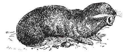 Spalax or mole rat, vintage engraved illustration. Dictionary of words and things - Larive and Fleury - 1895. Иллюстрация