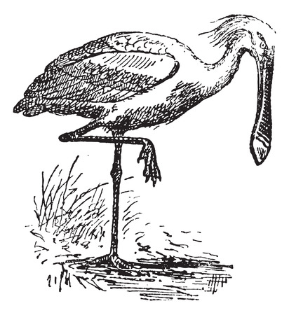 wade: Spoonbill, vintage engraved illustration. Dictionary of words and things - Larive and Fleury - 1895.