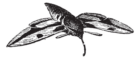 Sphinx moth or  Hawk moth or hornworms, vintage engraved illustration. Dictionary of words and things - Larive and Fleury - 1895.