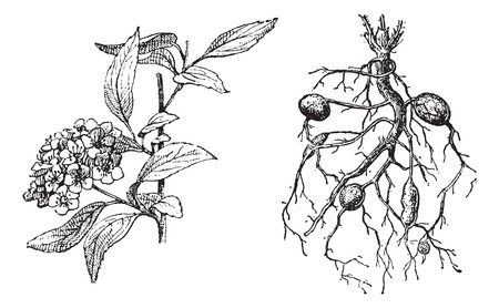 lanceolate: Spirea Lanceolate, Dropwort Meadowsweet, vintage illustrazione inciso. Dizionario di parole e cose - Larive e Fleury - 1895.