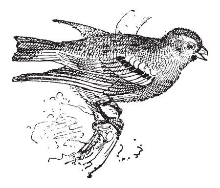 finch: Pine Siskin or Carduelis pinus, vintage engraved illustration. Dictionary of Words and Things - Larive and Fleury - 1895