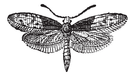 Moth Butterfly or Liphyra brassolis, vintage engraved illustration. Dictionary of Words and Things - Larive and Fleury - 1895 Illusztráció
