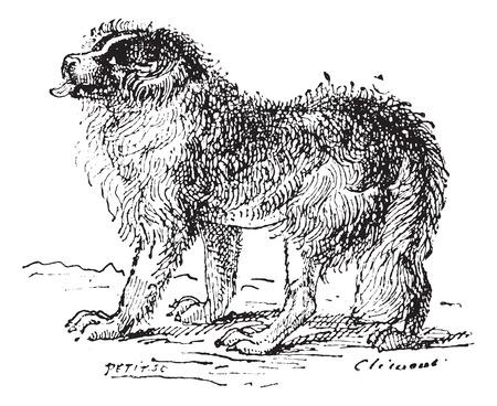terranova: Cane Terranova, vintage illustrazione inciso. Dizionario di parole e cose - Larive e Fleury - 1895.