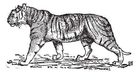 panthera: Tiger (Panthera tigris), vintage illustrazione inciso. Dizionario di parole e cose - Larive e Fleury - 1895.