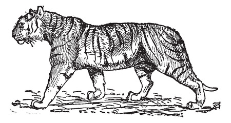 Tiger (Panthera tigris), vintage engraved illustration. Dictionary of words and things - Larive and Fleury - 1895. Çizim