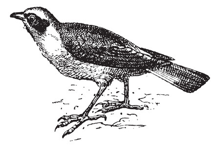 passerine: Wheatear, vintage engraved illustration. Dictionary of words and things - Larive and Fleury - 1895.