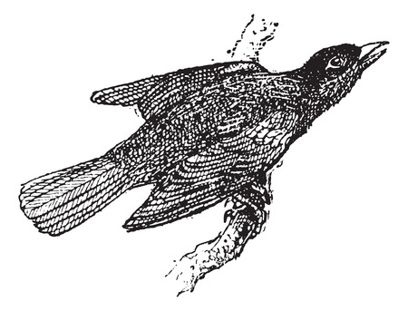 passerine: Troupial or Icterus icterus, vintage engraved illustration. Dictionary of Words and Things - Larive and Fleury - 1895