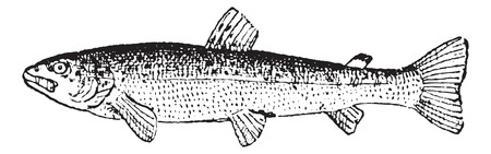 Common Trout or Salmo trutta, vintage engraved illustration. Dictionary of Words and Things - Larive and Fleury - 1895 Illustration