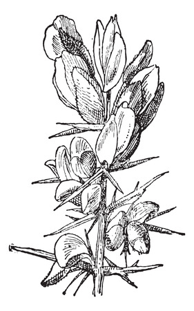 thorn bush: Gorse or Ulex sp., vintage engraved illustration. Dictionary of Words and Things - Larive and Fleury - 1895
