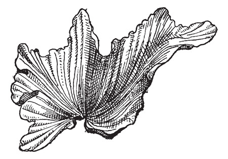 eukaryote: Sea Lettuceor Ulva lactuca, vintage engraved illustration. Dictionary of Words and Things - Larive and Fleury - 1895