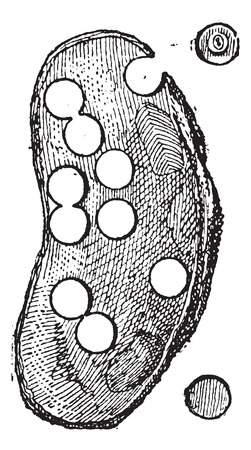 mussel: River Mussel or Unio sp., showing its use in the button-making industry, vintage engraved illustration. Dictionary of Words and Things - Larive and Fleury - 1895 Illustration