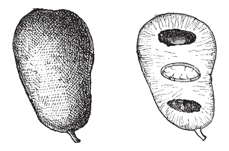 annonaceae: Common Pawpaw or Asimina triloba, showing Fruit (left) and fruit cross-section (right), vintage engraved illustration. Dictionary of Words and Things - Larive and Fleury - 1895 Illustration
