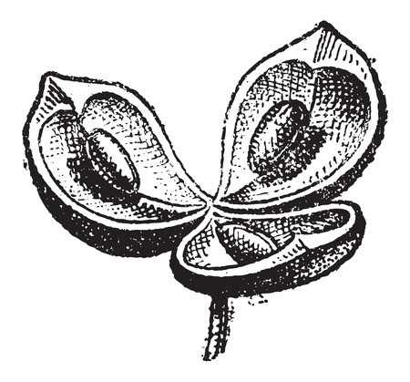 Valves, in Botany, vintage engraved illustration. Dictionary of Words and Things - Larive and Fleury - 1895