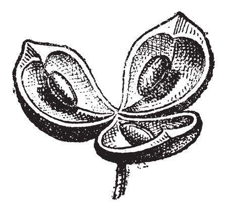 ventile: Ventile, in Botanik, Jahrgang gravierte Darstellung. W�rterbuch der W�rter und Dinge - Larive und Fleury - 1895