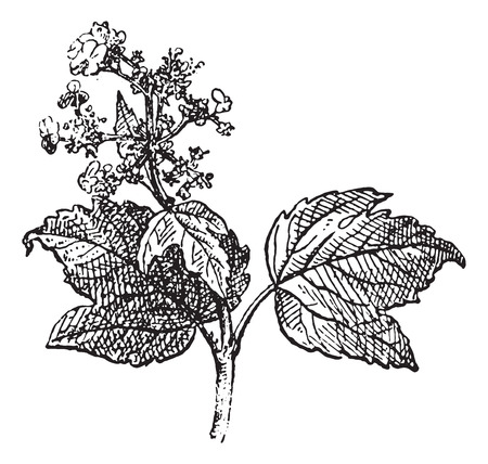 guelder: Viburnum opulus or Guelder rose, vintage engraved illustration. Dictionary of words and things - Larive and Fleury - 1895.