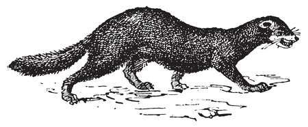 Mink or Vison, vintage engraved illustration. Dictionary of words and things - Larive and Fleury - 1895. Иллюстрация