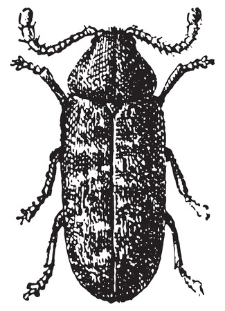 Beetle, Anobium tessellatum, vintage engraved illustration. Dictionary of words and things - Larive and Fleury - 1895.