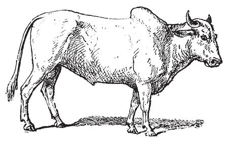 brahman: Zebu or Humped cattle or Brahman cattle, vintage engraved illustration. Dictionary of words and things - Larive and Fleury - 1895.