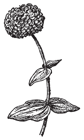 Zinnia or Zinnie, vintage engraved illustration. Dictionary of words and things - Larive and Fleury - 1895.
