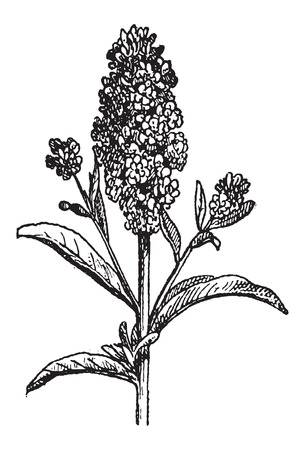 wallflower: Aegean Wallflower or Erysimum cheiri, vintage engraved illustration. Dictionary of Words and Things - Larive and Fleury - 1895 Illustration