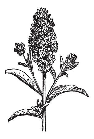 Aegean Wallflower or Erysimum cheiri, vintage engraved illustration. Dictionary of Words and Things - Larive and Fleury - 1895 Ilustração