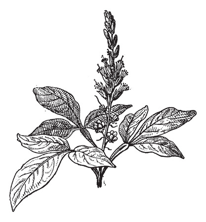 Old engraved illustration of Quassia amara isolated on a white background. Dictionary of words and things - Larive and Fleury ? 1895