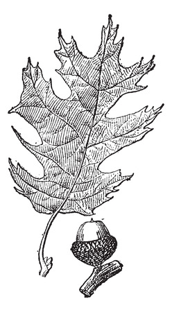 quercus: Old engraved illustration of black oak or Quercus velutina or eastern black oak isolated on a white background. Dictionary of words and things - Larive and Fleury ? 1895