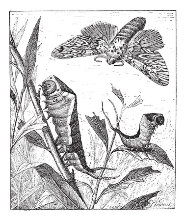 Old engraved illustration of Forked tail or Vinule or Great harpy or Cerura vinula in the meadow. Dictionary of words and things - Larive and Fleury ? 1895