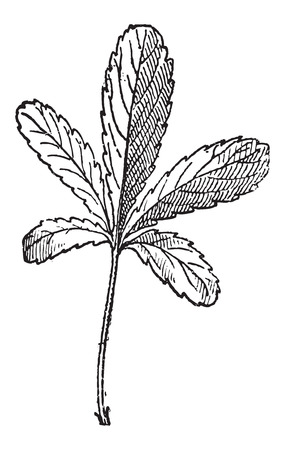 rosaceae: Cinquefoil or Potentilla sp., vintage engraved illustration. Dictionary of Words and Things - Larive and Fleury - 1895